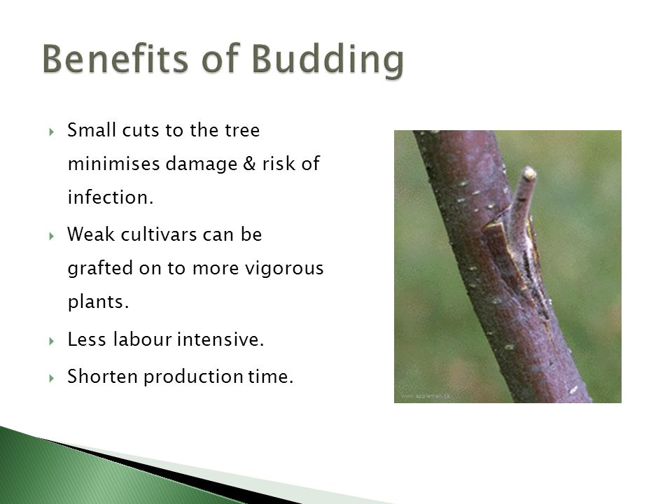  Small cuts to the tree minimises damage & risk of infection.