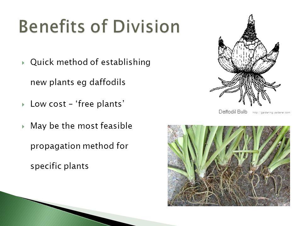  Quick method of establishing new plants eg daffodils  Low cost – 'free plants'  May be the most feasible propagation method for specific plants www.tekura.school.nz http://gardening.yardener.com