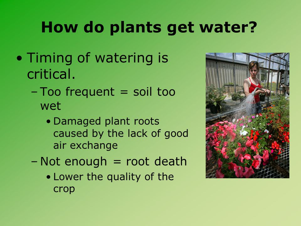 How do plants get water. Timing of watering is critical.