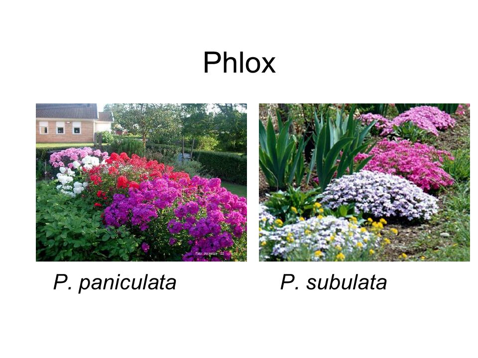 Phlox P. paniculataP. subulata