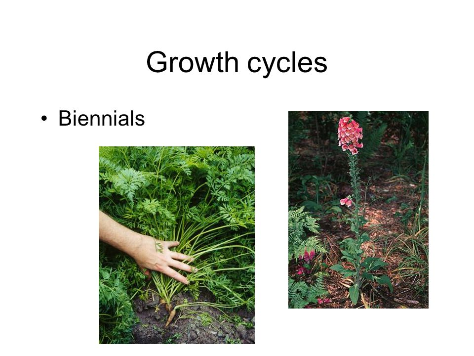 Growth cycles Biennials
