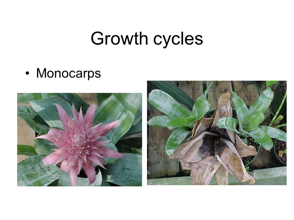 Growth cycles Monocarps
