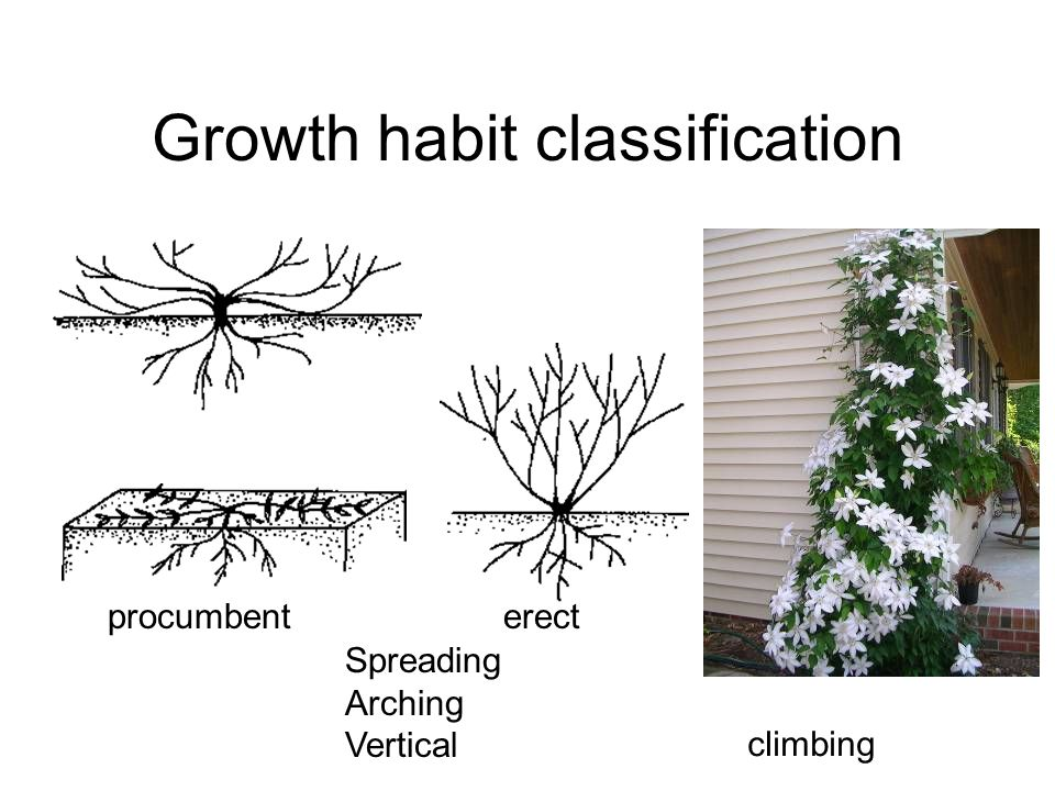 Growth habit classification procumbenterect climbing Spreading Arching Vertical