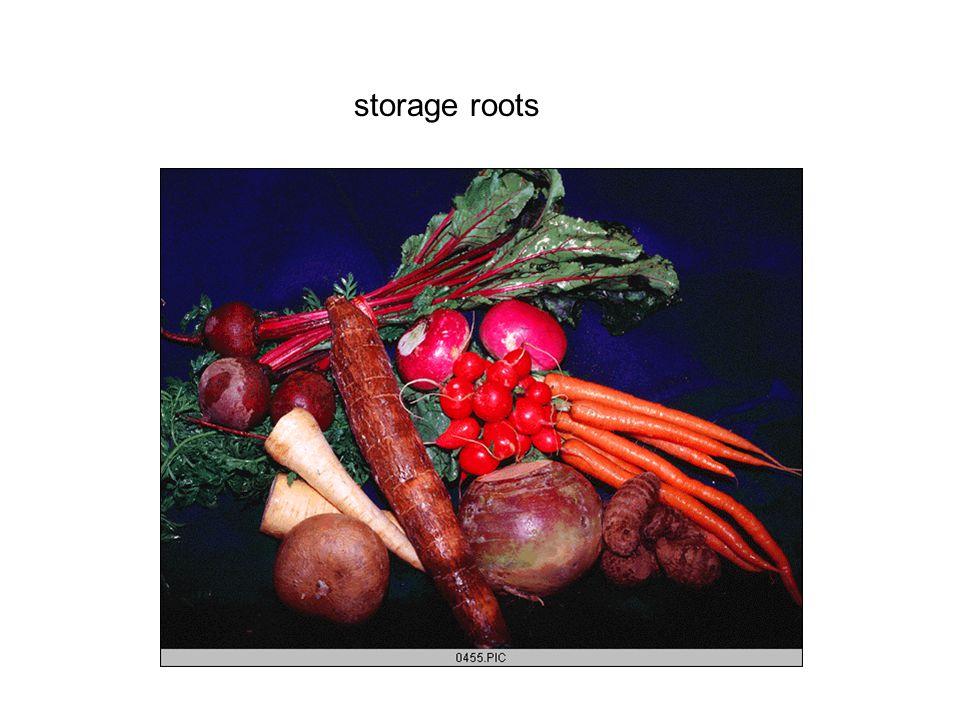 storage roots