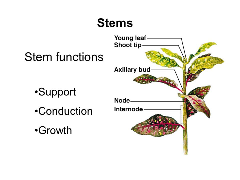 Stems Support Conduction Growth Stem functions