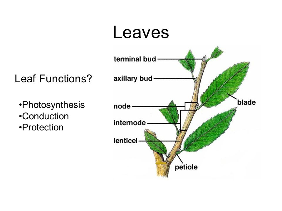Leaf Functions? Photosynthesis Conduction Protection Leaves