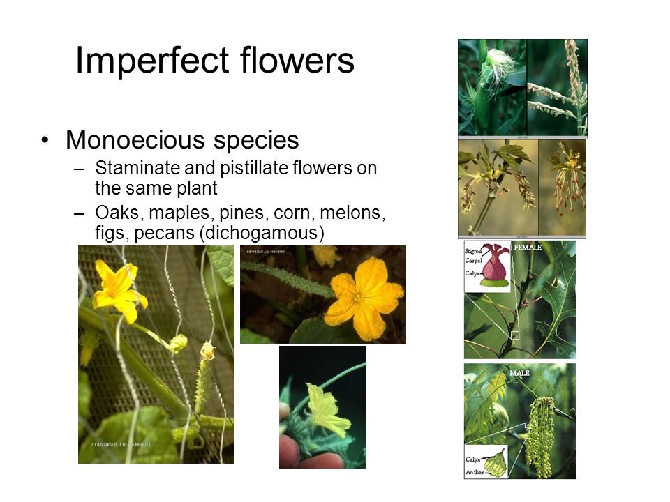 Imperfect flowers Monoecious species –Staminate and pistillate flowers on the same plant –Oaks, maples, pines, corn, melons, figs, pecans (dichogamous)