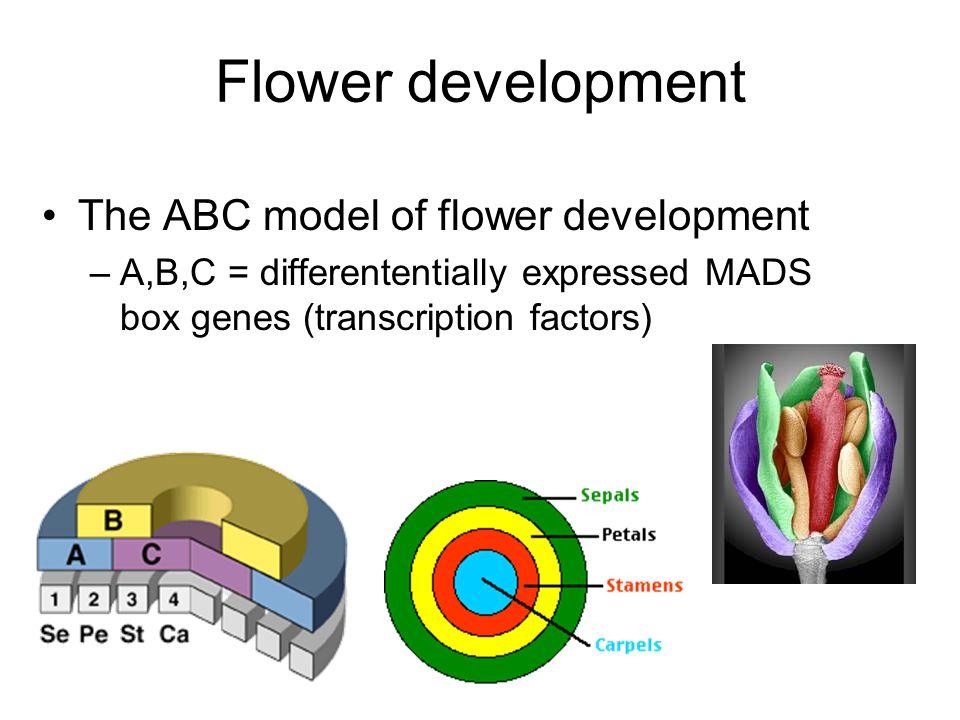 Flower development The ABC model of flower development –A,B,C = differententially expressed MADS box genes (transcription factors)