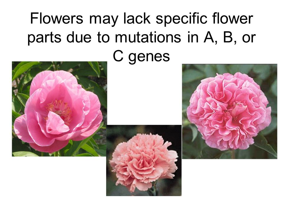 Flowers may lack specific flower parts due to mutations in A, B, or C genes