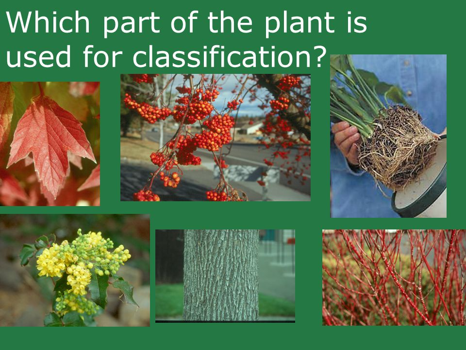 Which part of the plant is used for classification?