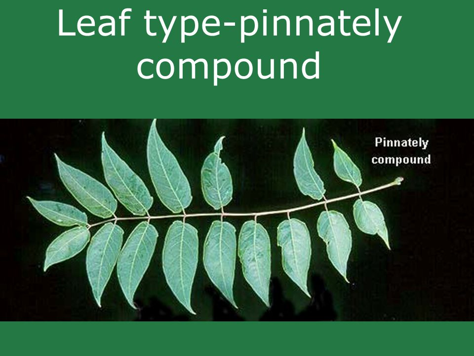 Leaf type-pinnately compound