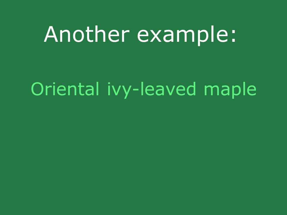 Another example: Oriental ivy-leaved maple