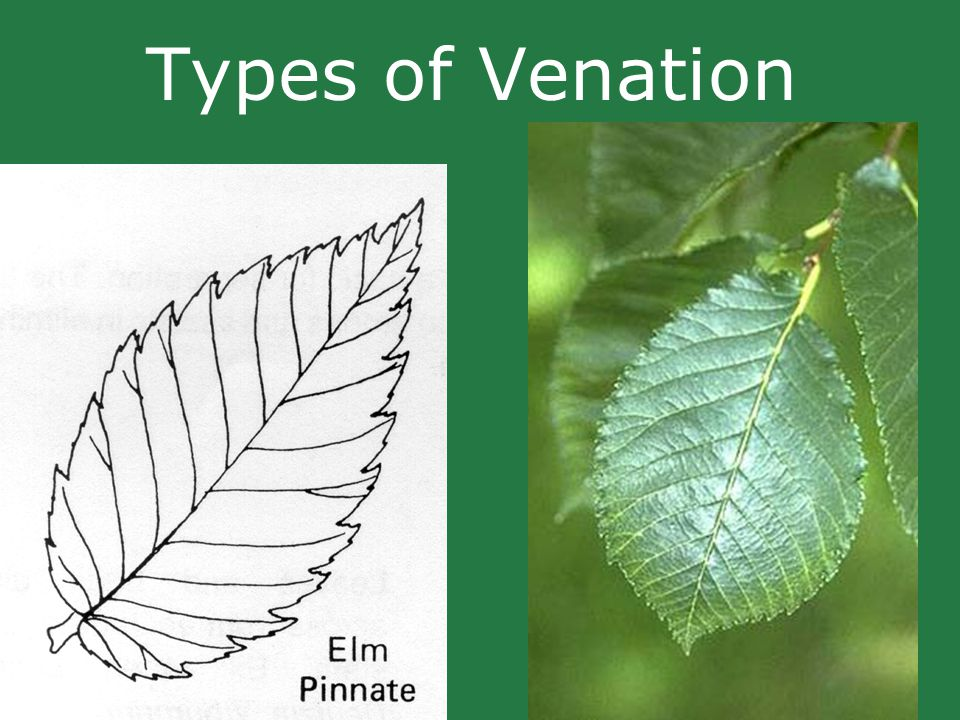 Types of Venation