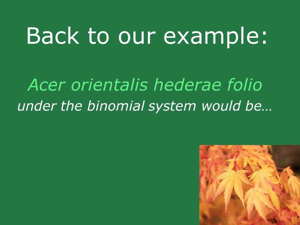 Back to our example: Acer orientalis hederae folio under the binomial system would be…