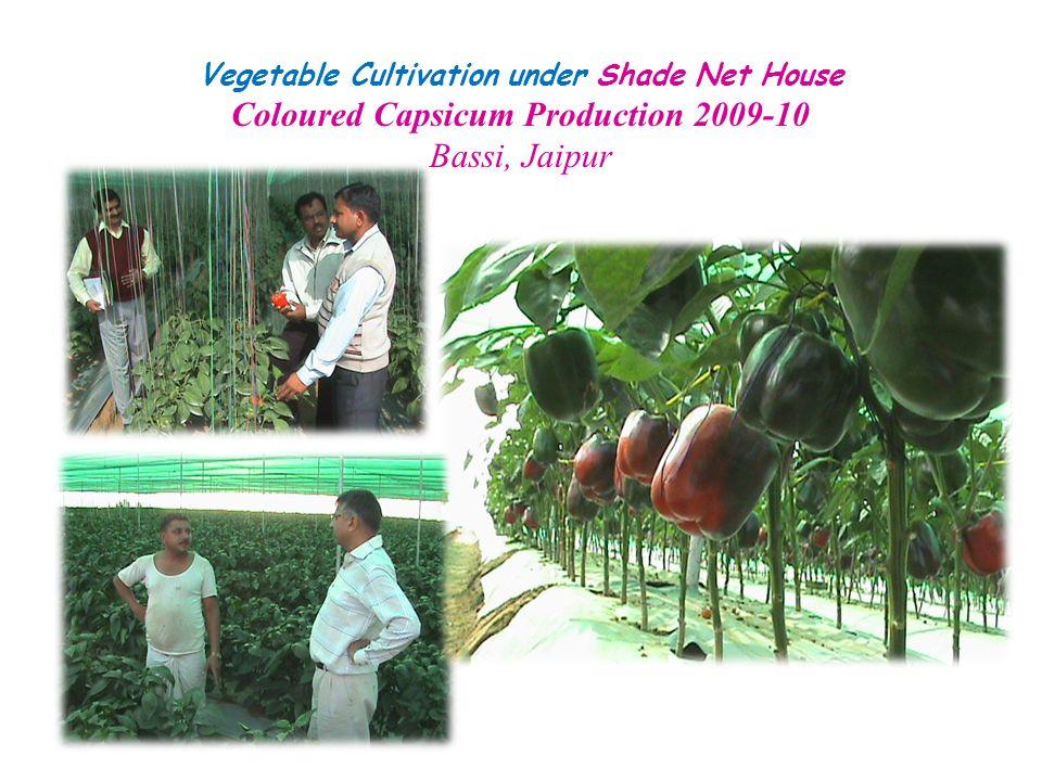 Vegetable Cultivation under Shade Net House Coloured Capsicum Production 2009-10 Bassi, Jaipur