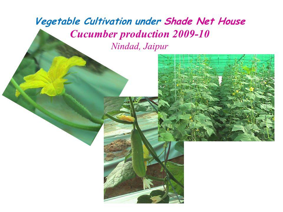 Vegetable Cultivation under Shade Net House Cucumber production 2009-10 Nindad, Jaipur