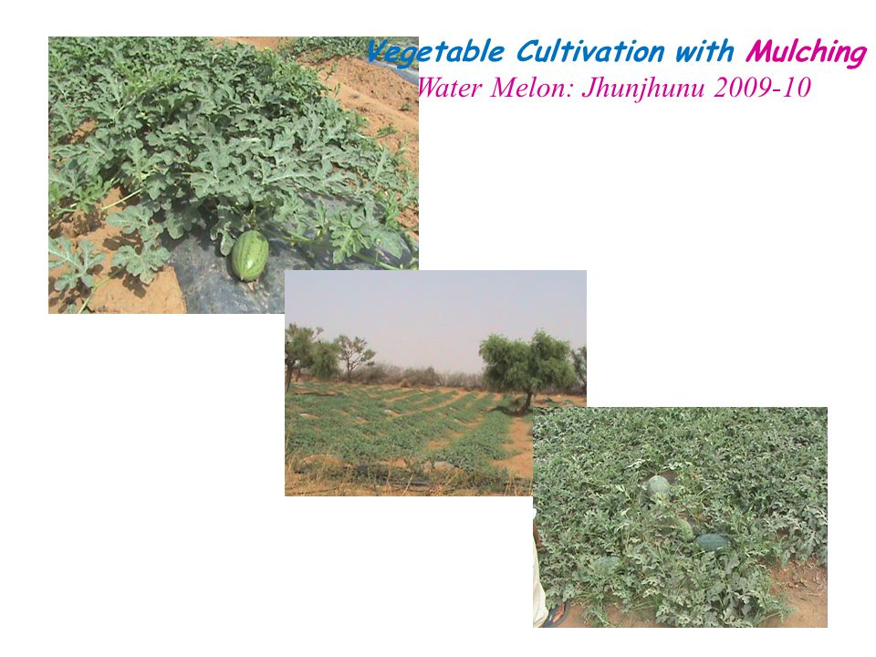 Vegetable Cultivation with Mulching Water Melon: Jhunjhunu 2009-10