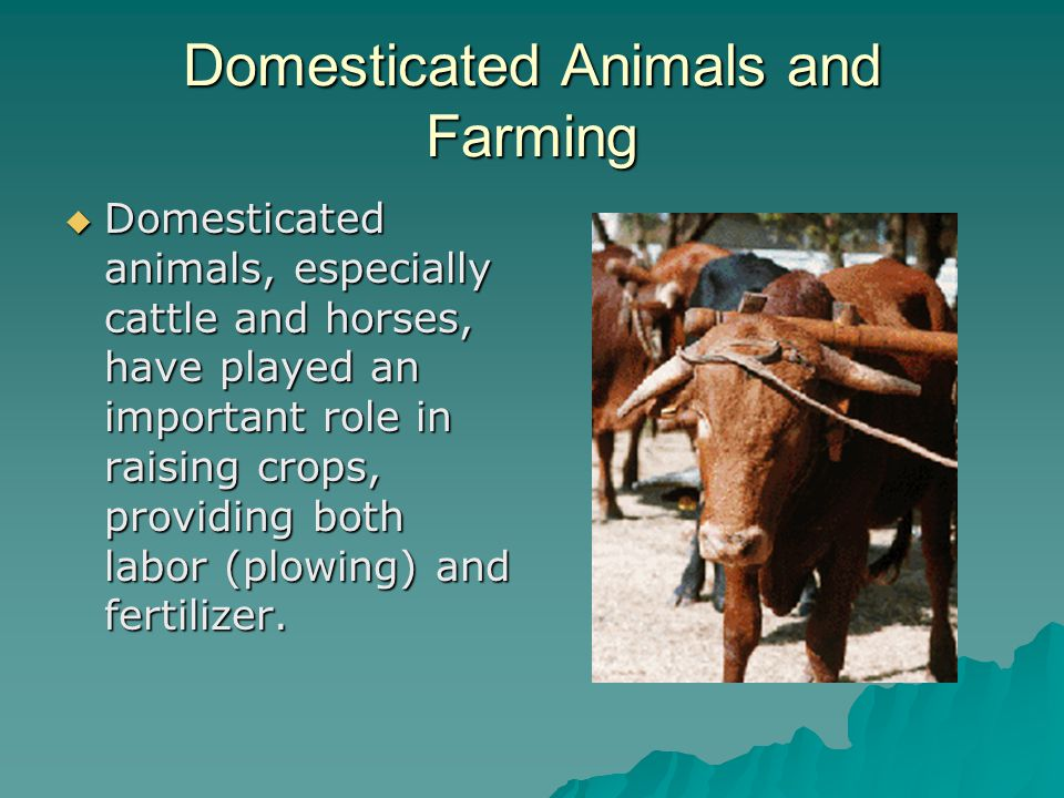 Domesticated Animals and Farming  Domesticated animals, especially cattle and horses, have played an important role in raising crops, providing both labor (plowing) and fertilizer.