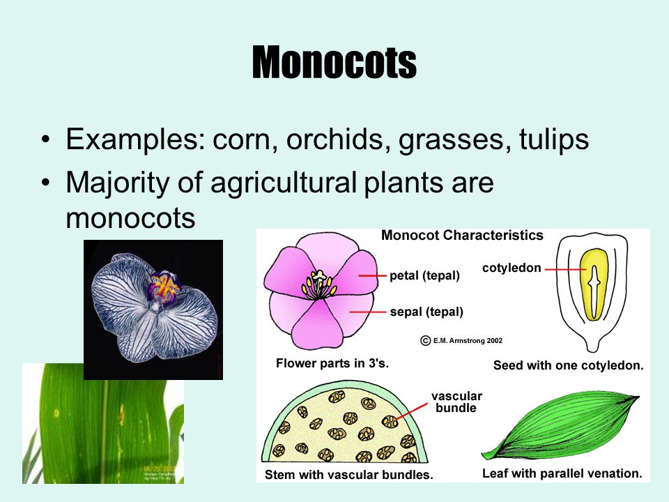 Monocots Examples: corn, orchids, grasses, tulips Majority of agricultural plants are monocots