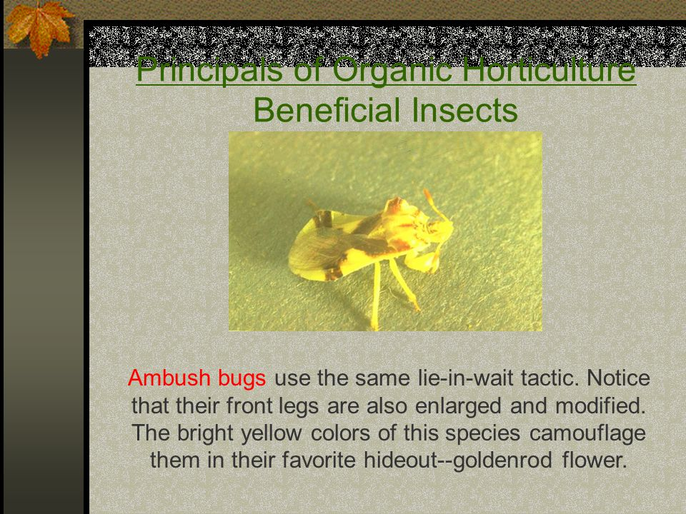 Principals of Organic Horticulture Beneficial Insects Ambush bugs use the same lie-in-wait tactic. Notice that their front legs are also enlarged and