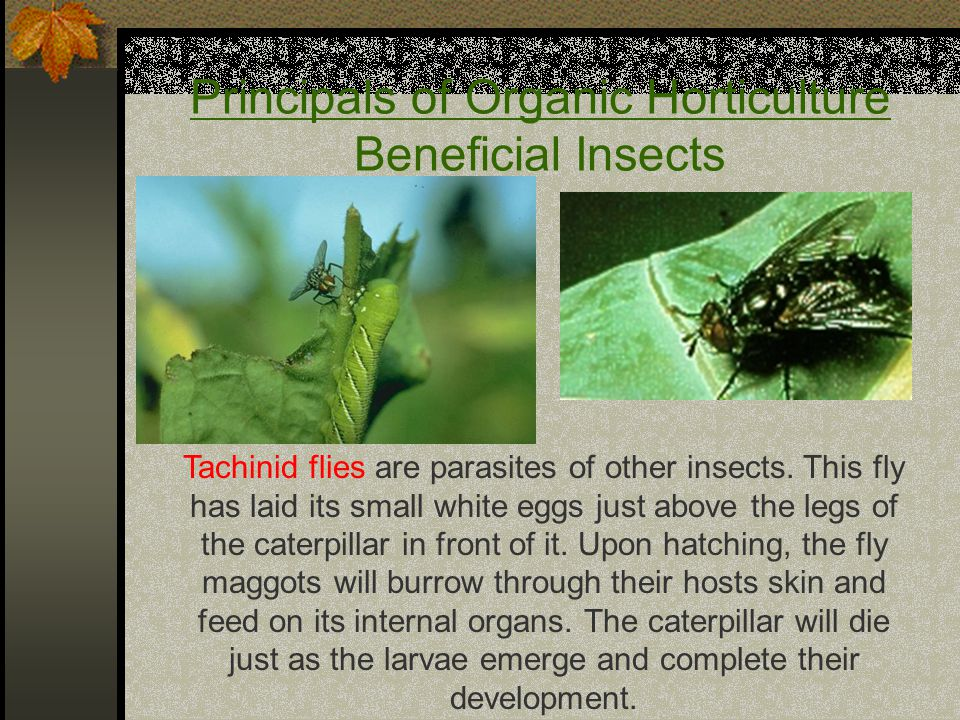 Principals of Organic Horticulture Beneficial Insects Tachinid flies are parasites of other insects.