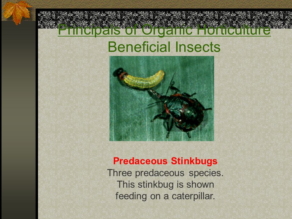 Principals of Organic Horticulture Beneficial Insects Predaceous Stinkbugs Three predaceous species.