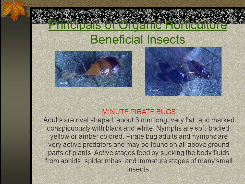 Principals of Organic Horticulture Beneficial Insects MINUTE PIRATE BUGS Adults are oval shaped, about 3 mm long, very flat, and marked conspicuously with black and white.