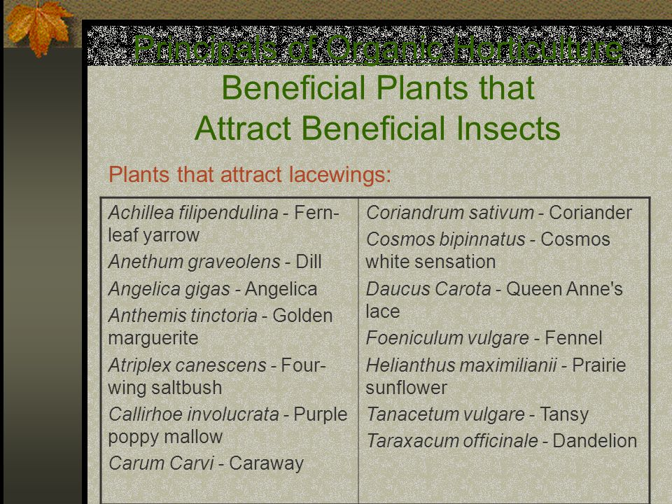 Principals of Organic Horticulture Beneficial Plants that Attract Beneficial Insects Achillea filipendulina - Fern- leaf yarrow Anethum graveolens - Dill Angelica gigas - Angelica Anthemis tinctoria - Golden marguerite Atriplex canescens - Four- wing saltbush Callirhoe involucrata - Purple poppy mallow Carum Carvi - Caraway Coriandrum sativum - Coriander Cosmos bipinnatus - Cosmos white sensation Daucus Carota - Queen Anne s lace Foeniculum vulgare - Fennel Helianthus maximilianii - Prairie sunflower Tanacetum vulgare - Tansy Taraxacum officinale - Dandelion Plants that attract lacewings: