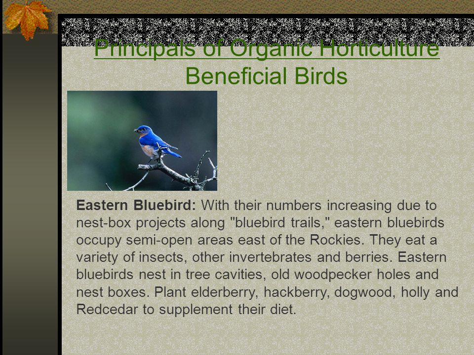 Principals of Organic Horticulture Beneficial Birds Eastern Bluebird: With their numbers increasing due to nest-box projects along bluebird trails, eastern bluebirds occupy semi-open areas east of the Rockies.