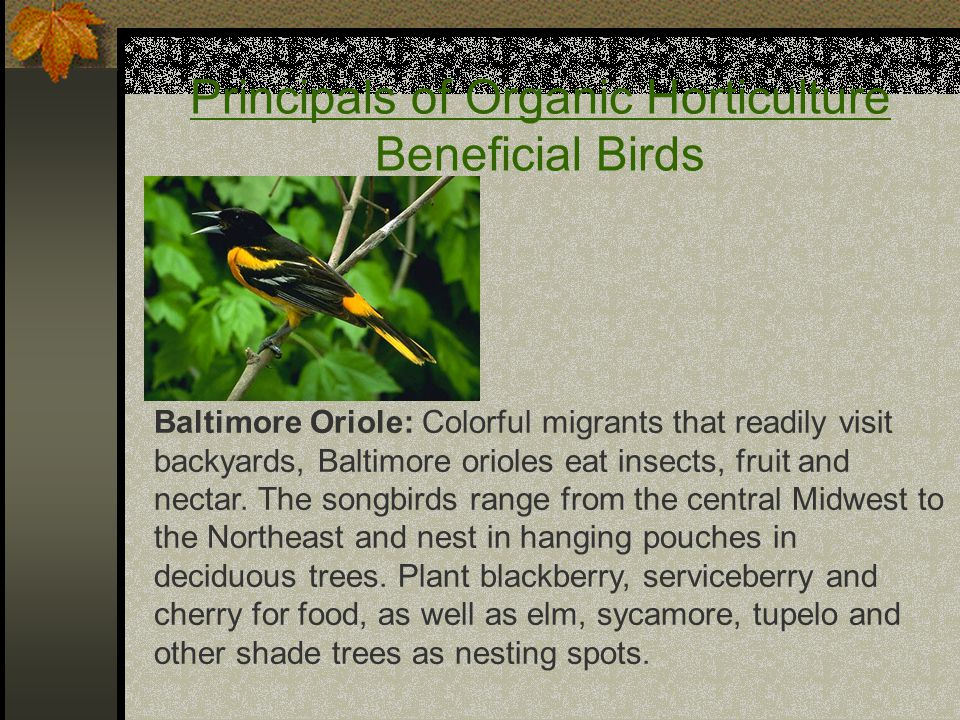 Principals of Organic Horticulture Beneficial Birds Baltimore Oriole: Colorful migrants that readily visit backyards, Baltimore orioles eat insects, f