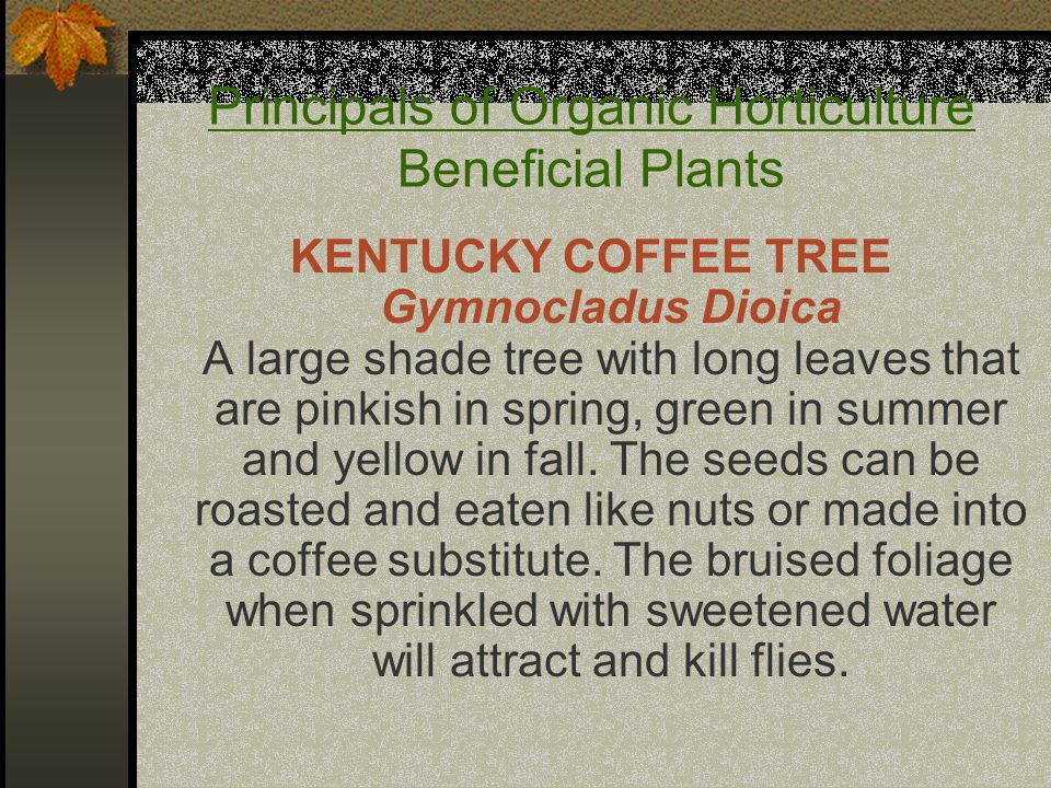 KENTUCKY COFFEE TREE Gymnocladus Dioica A large shade tree with long leaves that are pinkish in spring, green in summer and yellow in fall. The seeds
