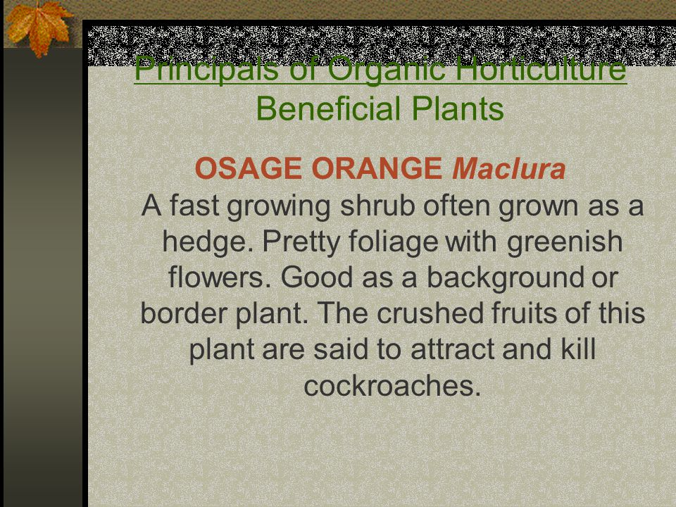 Principals of Organic Horticulture Beneficial Plants OSAGE ORANGE Maclura A fast growing shrub often grown as a hedge.