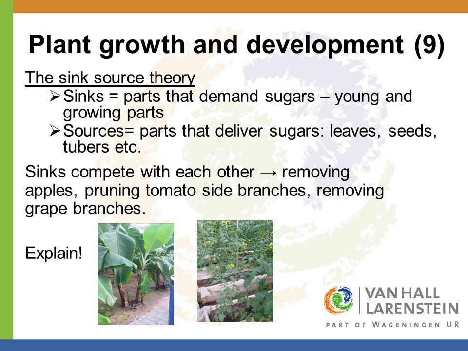 Plant growth and development (9) The sink source theory  Sinks = parts that demand sugars – young and growing parts  Sources= parts that deliver sugars: leaves, seeds, tubers etc.