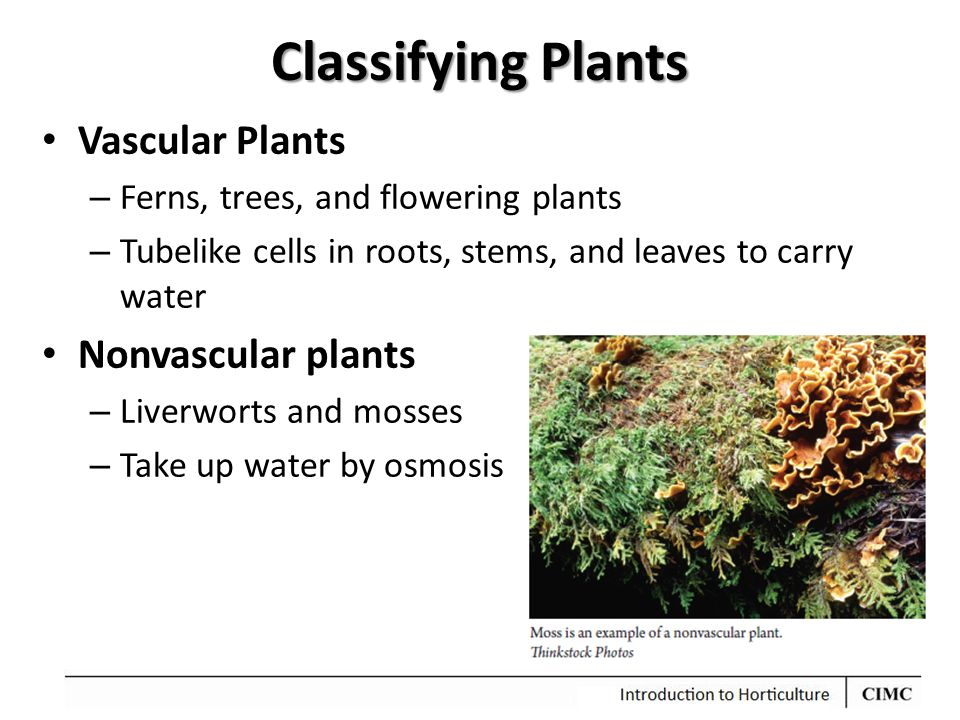 Classifying Plants Vascular Plants – Ferns, trees, and flowering plants – Tubelike cells in roots, stems, and leaves to carry water Nonvascular plants