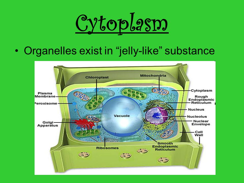 Cytoplasm Organelles exist in jelly-like substance
