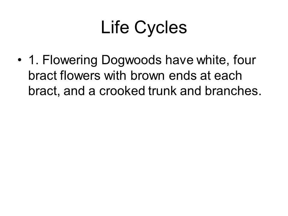 Life Cycles 1. Flowering Dogwoods have white, four bract flowers with brown ends at each bract, and a crooked trunk and branches.
