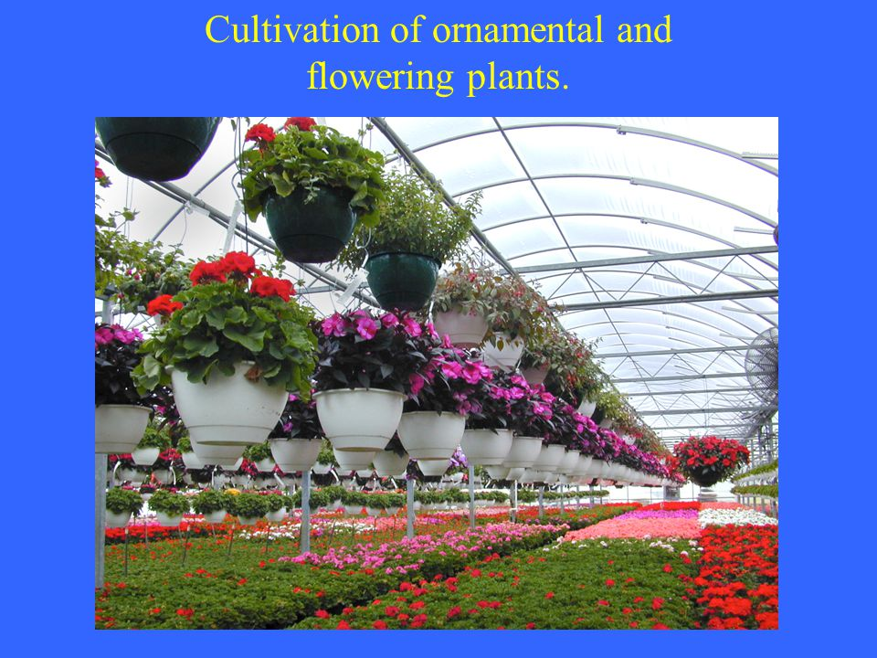 Cultivation of ornamental and flowering plants.