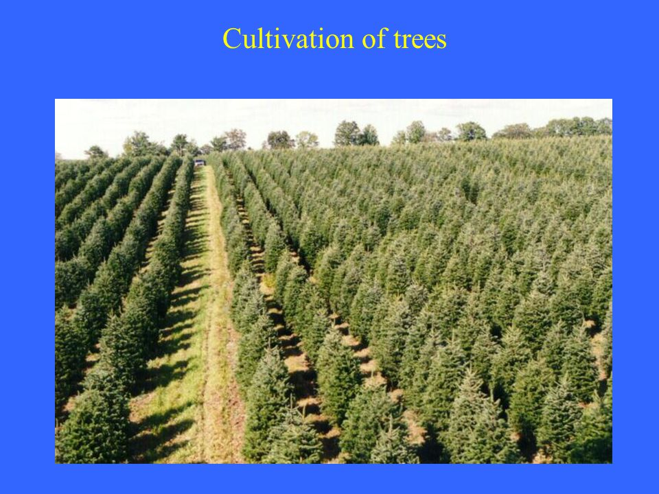 Cultivation of trees