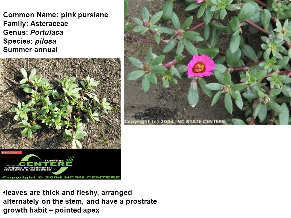 Common Name: pink purslane Family: Asteraceae Genus: Portulaca Species: pilosa Summer annual leaves are thick and fleshy, arranged alternately on the stem, and have a prostrate growth habit – pointed apex