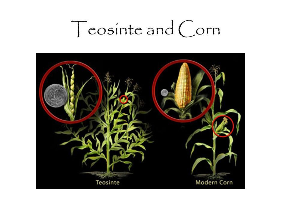 Teosinte and Corn