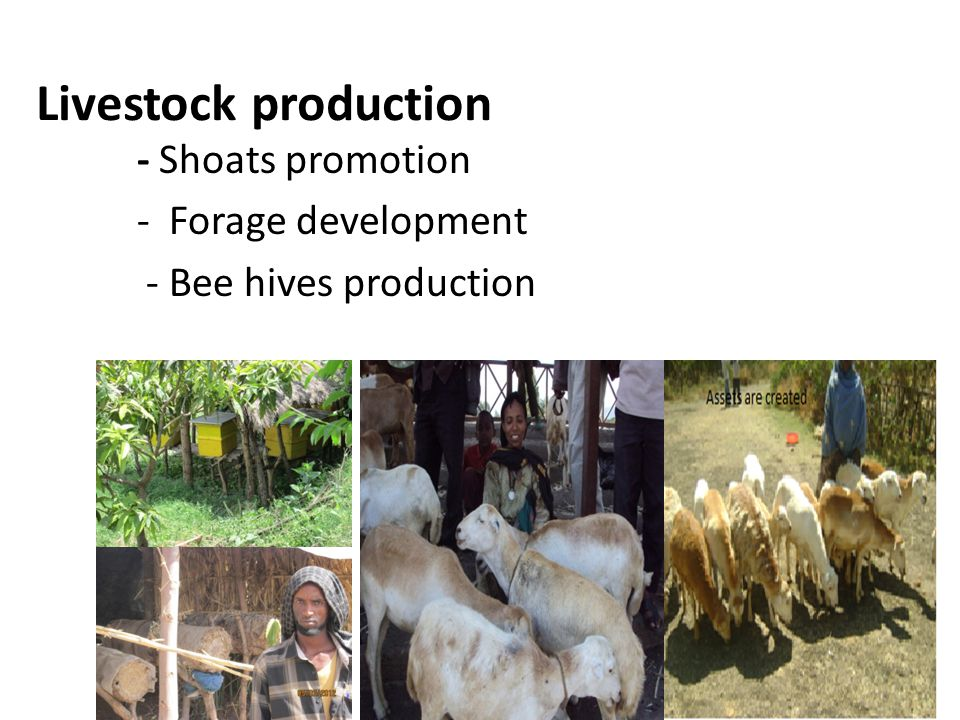 - Shoats promotion - Forage development - Bee hives production Livestock production