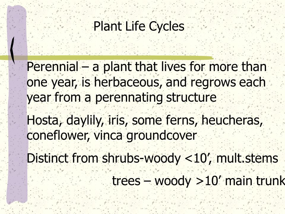Plant Life Cycles Perennial – a plant that lives for more than one year, is herbaceous, and regrows each year from a perennating structure Hosta, dayl