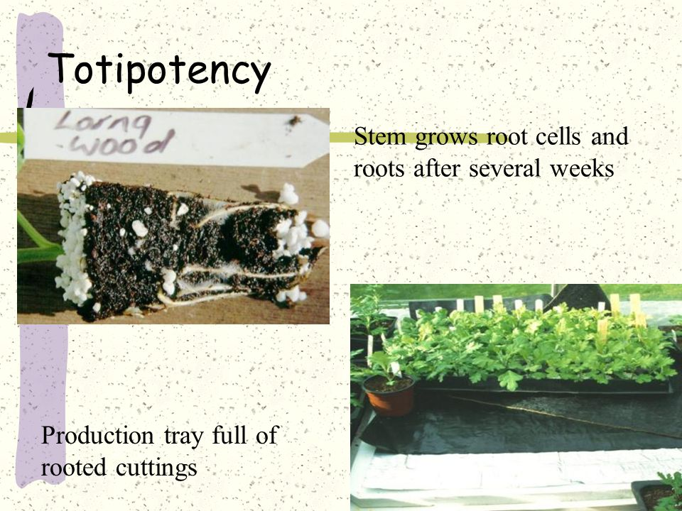 Totipotency Stem grows root cells and roots after several weeks Production tray full of rooted cuttings