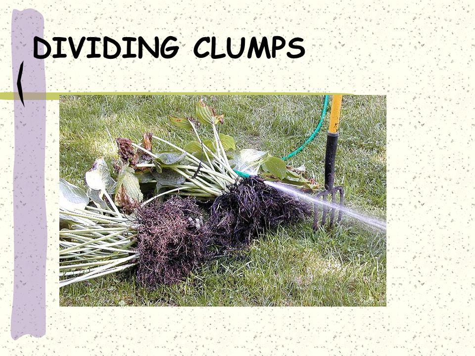 DIVIDING CLUMPS