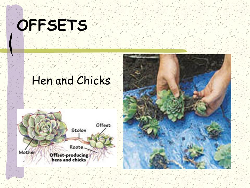 OFFSETS Hen and Chicks