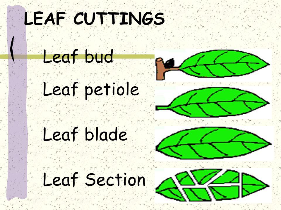 LEAF CUTTINGS Leaf bud Leaf petiole Leaf blade Leaf Section