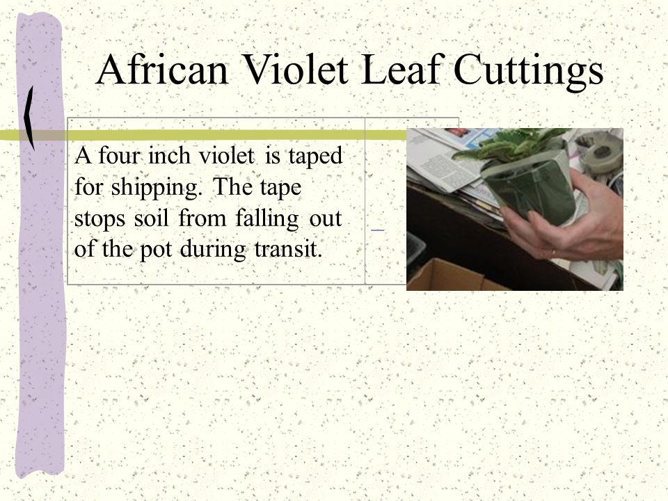 African Violet Leaf Cuttings A four inch violet is taped for shipping.