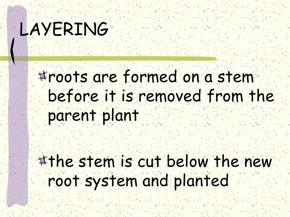 LAYERING roots are formed on a stem before it is removed from the parent plant the stem is cut below the new root system and planted