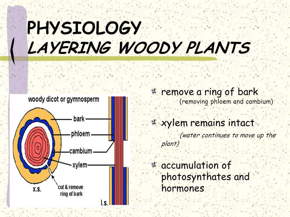 PHYSIOLOGY LAYERING WOODY PLANTS remove a ring of bark (removing phloem and cambium) xylem remains intact (water continues to move up the plant) accumulation of photosynthates and hormones