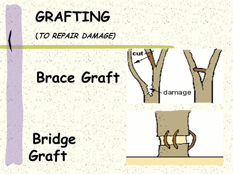 GRAFTING (TO REPAIR DAMAGE) Brace Graft Bridge Graft